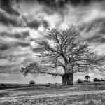 Baobab tree (Imbondeiro)