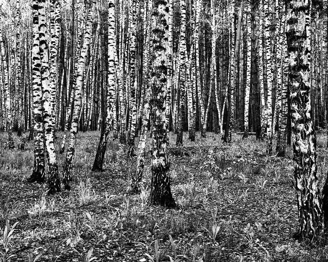 Birches, Voronezh, Russia. 2011