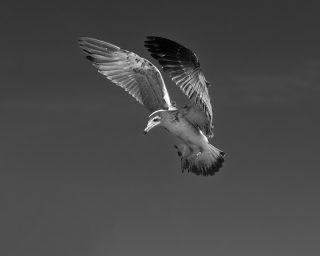 Seagull Study # 19, Sines, Portugal. 2020