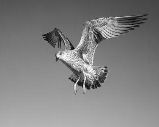 Seagull study # 12, Sines, Portugal. 2020