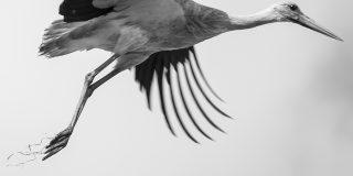 Stork Study # 1, Torre, Comporta, Portugal. 2020