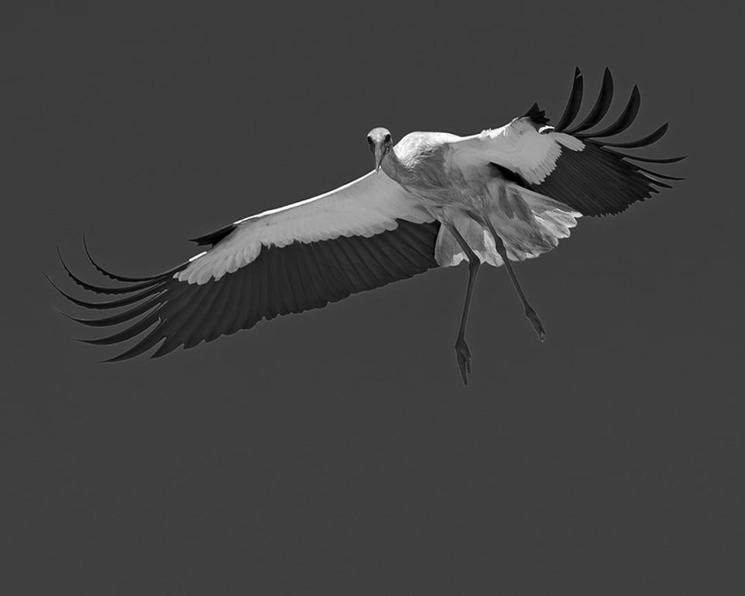 Stork Study # 10, Torre, Comporta, Portugal. 2020