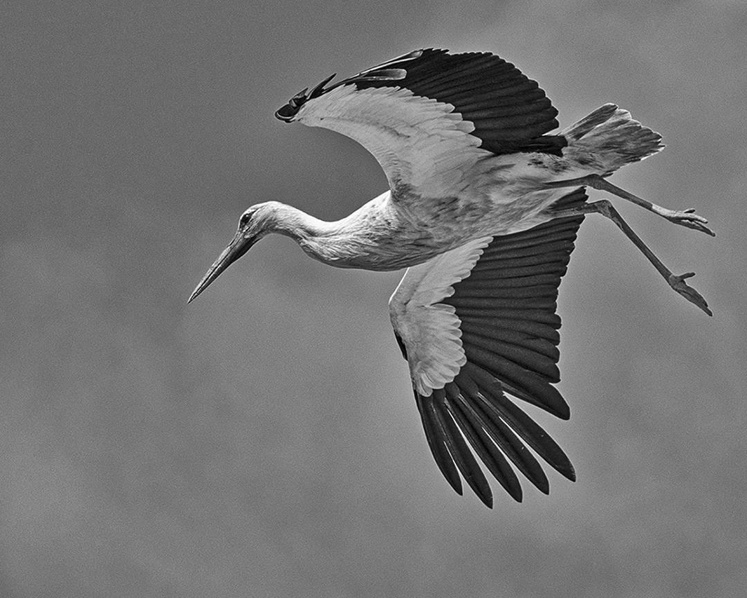 Stork Study # 25, Torre, Comporta, Portugal. 2020\