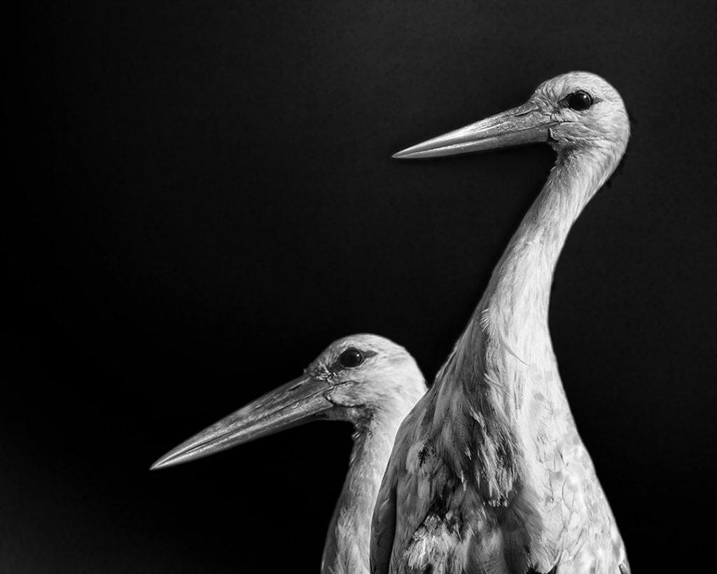 Stork Study # 5, Torre, Comporta, Portugal. 2020