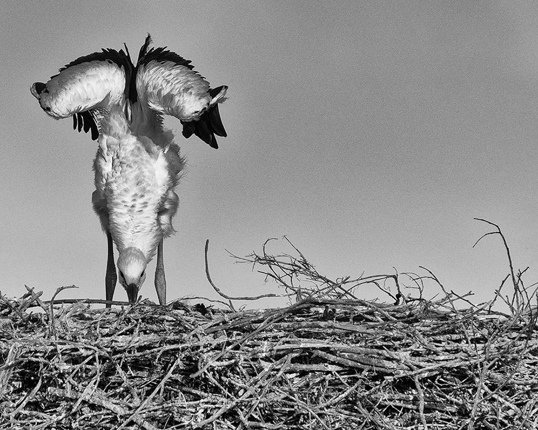 Stork Study # 19, Casoto, Sines, Portugal. 2020