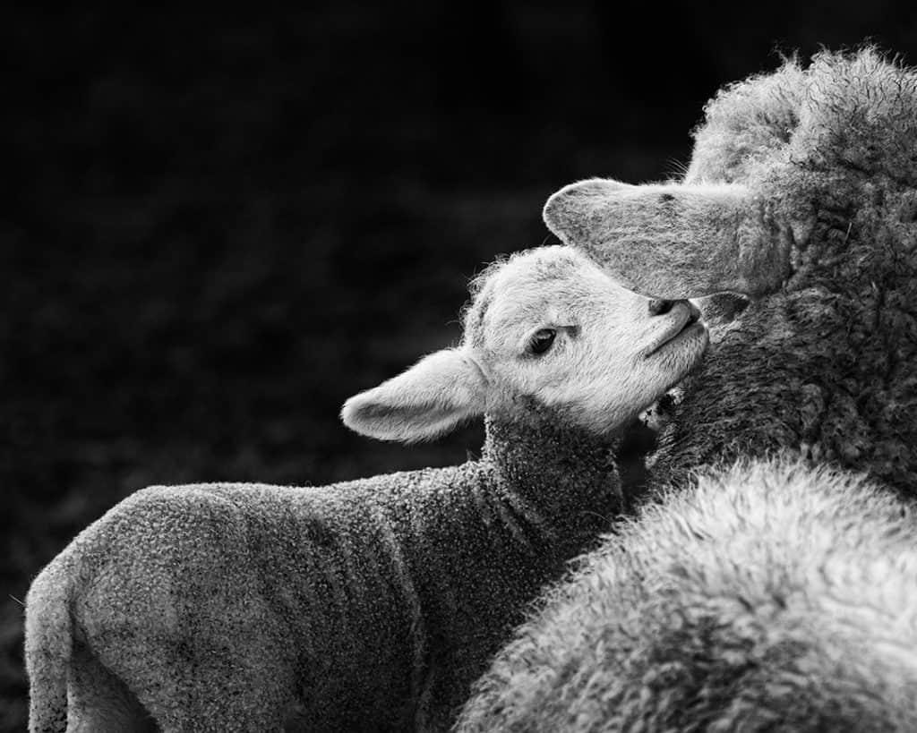 Lamb Secret, Casoto, Sines, Portugal. 2020